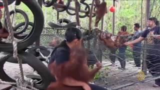 هذا الصباح- قرود الأورنغوتان المهددة بالانقراض