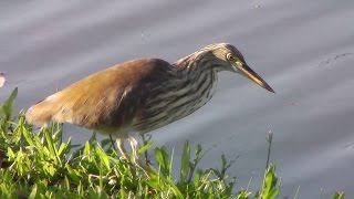 Chinese Pond-Heron/นกยางกรอกพันธุ์จีน