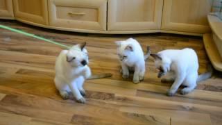 Тайские котята.