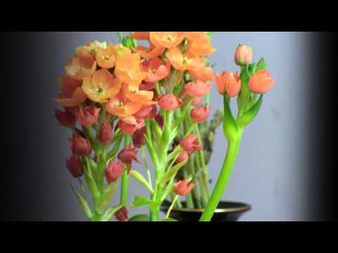 OrangeStarBlooming YT HD 1080 23976