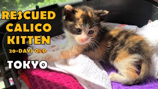 Rescued abandoned calico kitten Tokyo.