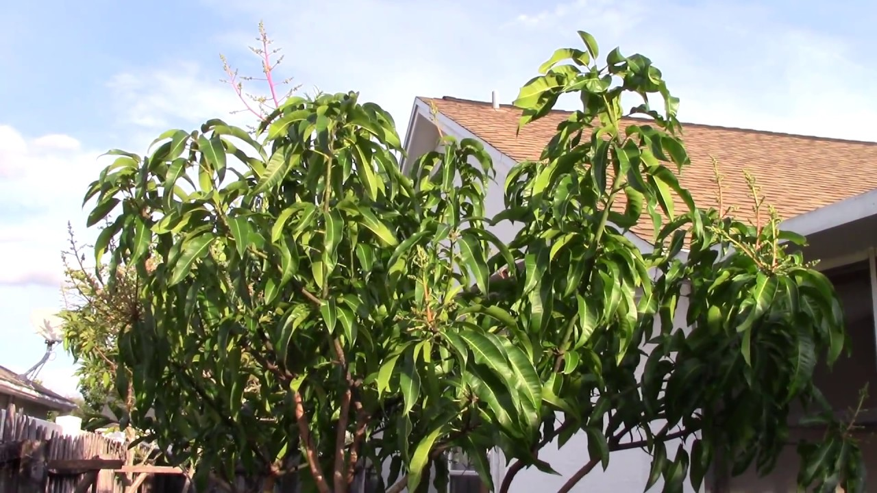 Backyard Fruit Tree In Winter Carrie Mango Florida Flowering Is It Weird Mvi 0132