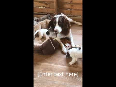Springer Spaniel pups play with their mum
