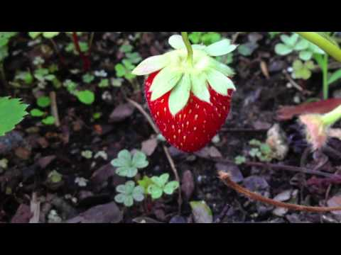 Growth of a strawberryover 30 days time, a short video by The Baltimore Sun