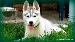 How To Potty Train Your Puppy Siberian Husky
