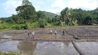 Sri Lanka,ශ්රී ලංකා,Rice field worker in action (01)