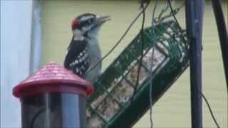 The Woodpecker Files - Clinton, Iowa - 09.07.15
