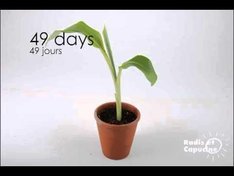 Le bananier c 39 est facile faire pousser youtube - Faire pousser un bananier ...