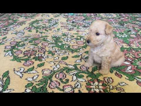 #Lakeland Terrier Puppy