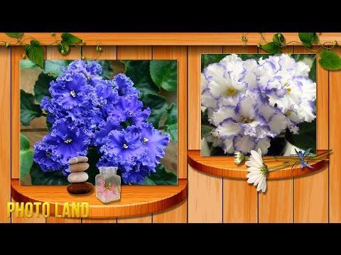 Бальзамин комнатный и садовый, сорта бальзамина, фото