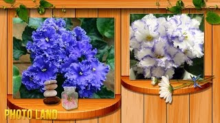 Фиалка сказочный цветок! || PHOTO LAND (фиалка, узамбарская фиалка, фиалка комнатная)