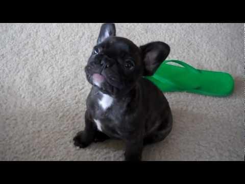 French Bulldog Puppy Otis