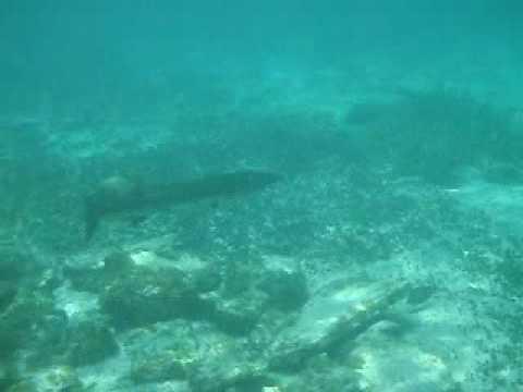 barracuda bite humans - photo #20