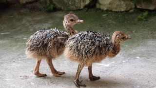 Ostrich: Animals for Children Kids Videos Kindergarten Preschool Learning Toddlers Sounds Songs Farm