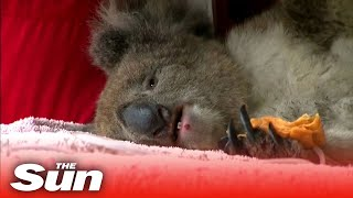 Vets work to save burnt koalas as 30,000 estimated to have died on Kangaroo Island in bushfires