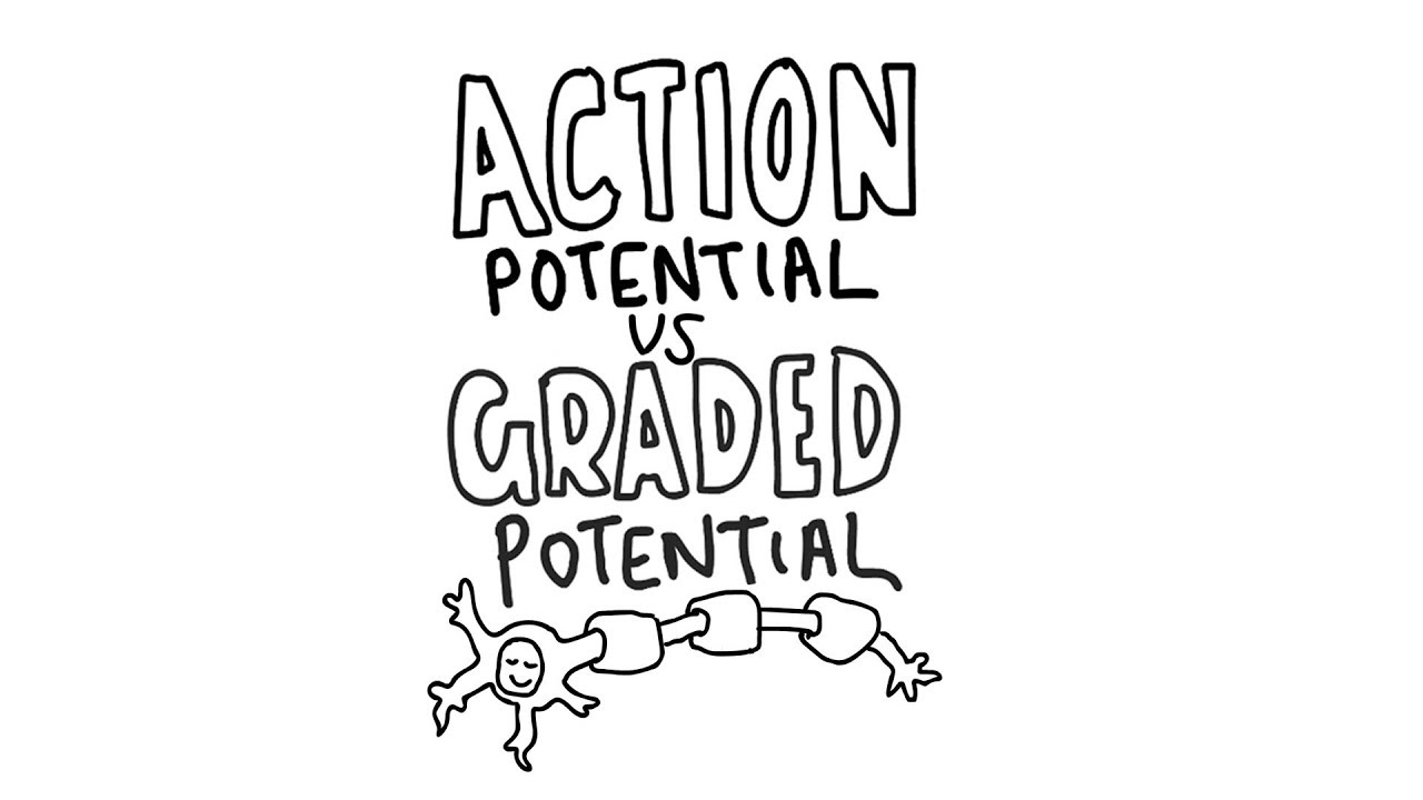 Action Potential vs Graded Potential