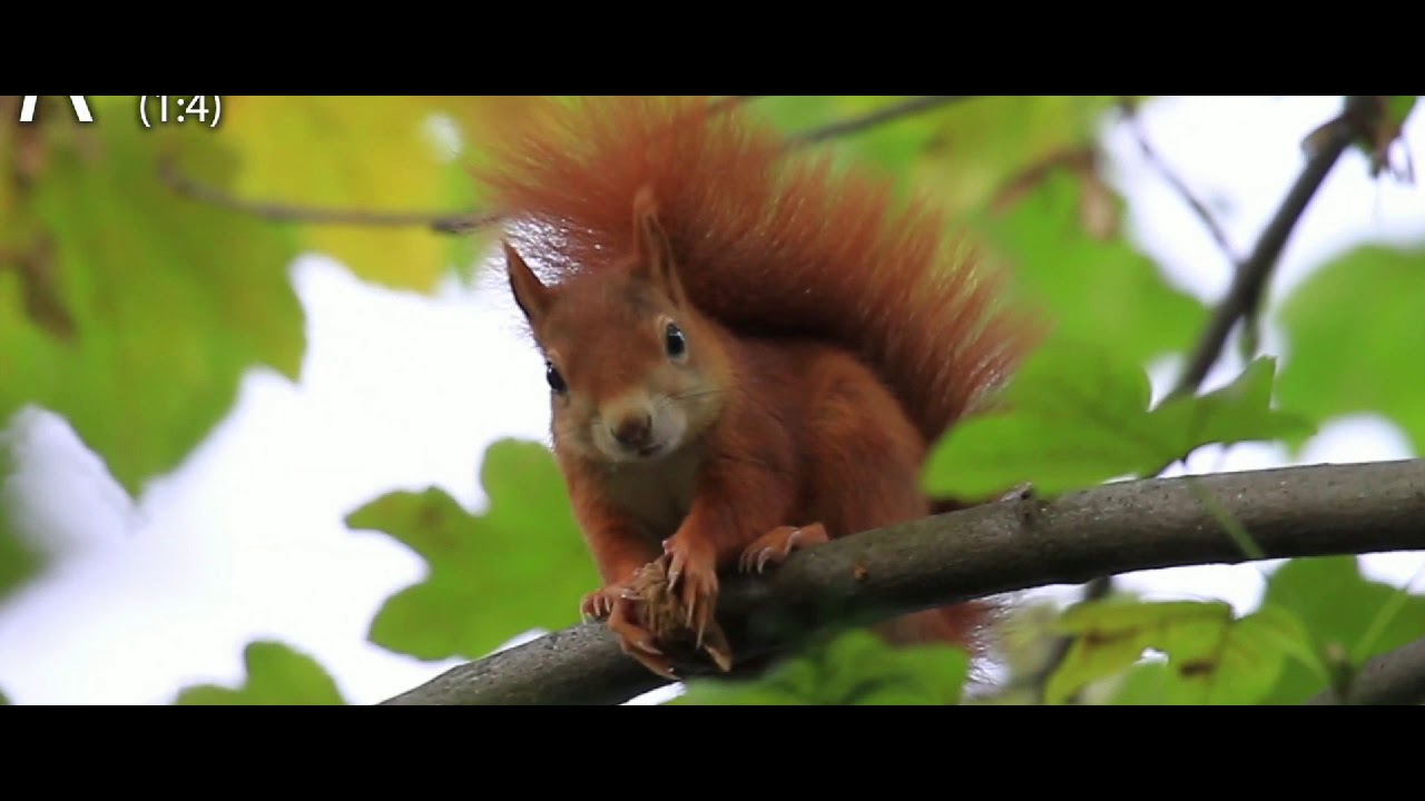Red squirrel eats walnut on branch