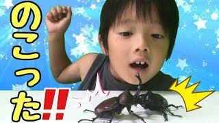 カブトムシの対決!絶叫!小学生VSママ 夏休みの自由研究 昆虫 生き物★関西仲良し家族☆ロボットチャンネル
