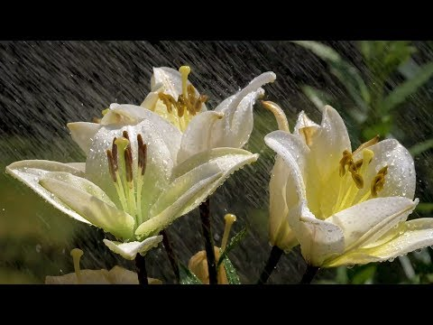 Flowers Slow Motion Relaxation Video in HD - Flowers & Water (3 hours) Video with Piano Music
