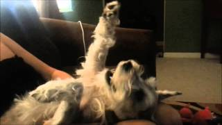 Lucy, A Miniature Schnauzer, Demonstrates Incredible Intelligence & The Human Trait Honesty