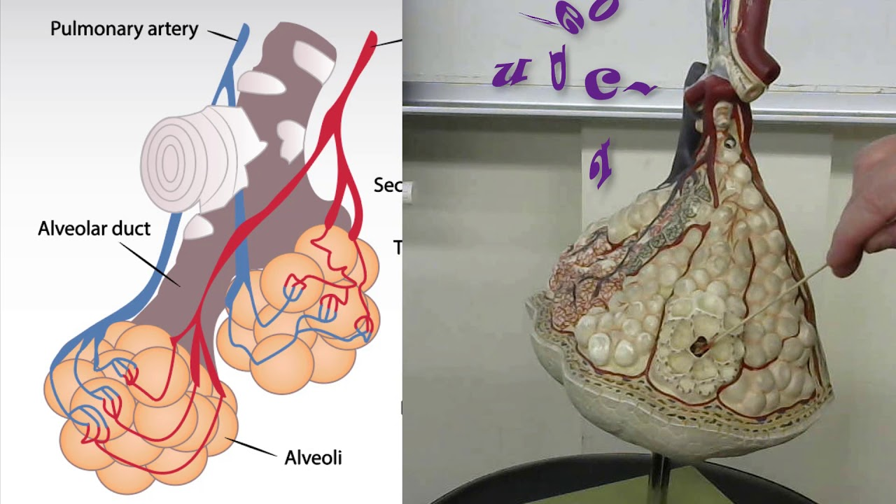 Alveoli Lung Anatomy Practical Exam Model Review Youtube