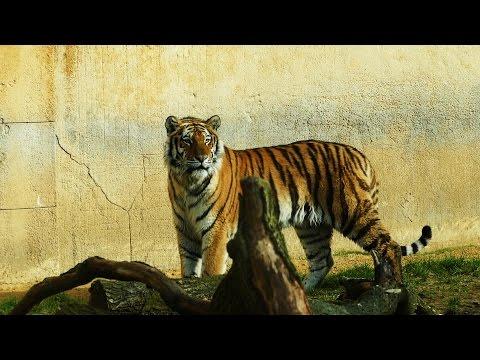 Ein Besuch im Erlebnis-Zoo Hannover. Tiger 14.03.2017.
