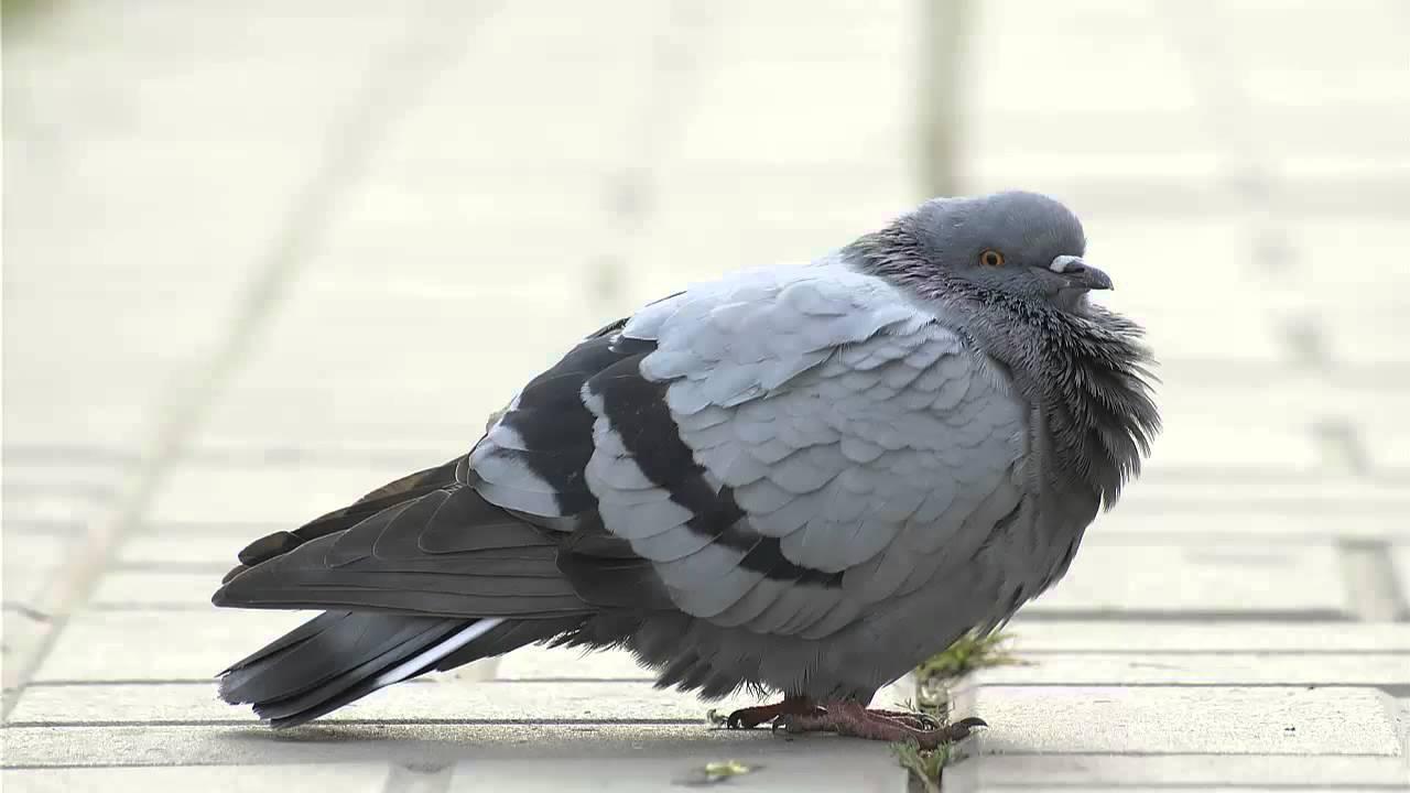 Звуки природы голубь скачать бесплатно