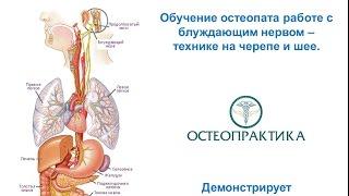 Обучение остеопата работе с блуждающим нервом – технике на черепе и шее
