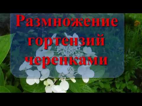 Гортензия Осеннее черенкование  Укоренение  Размножение reproduction of hydrangea как сохранить обре