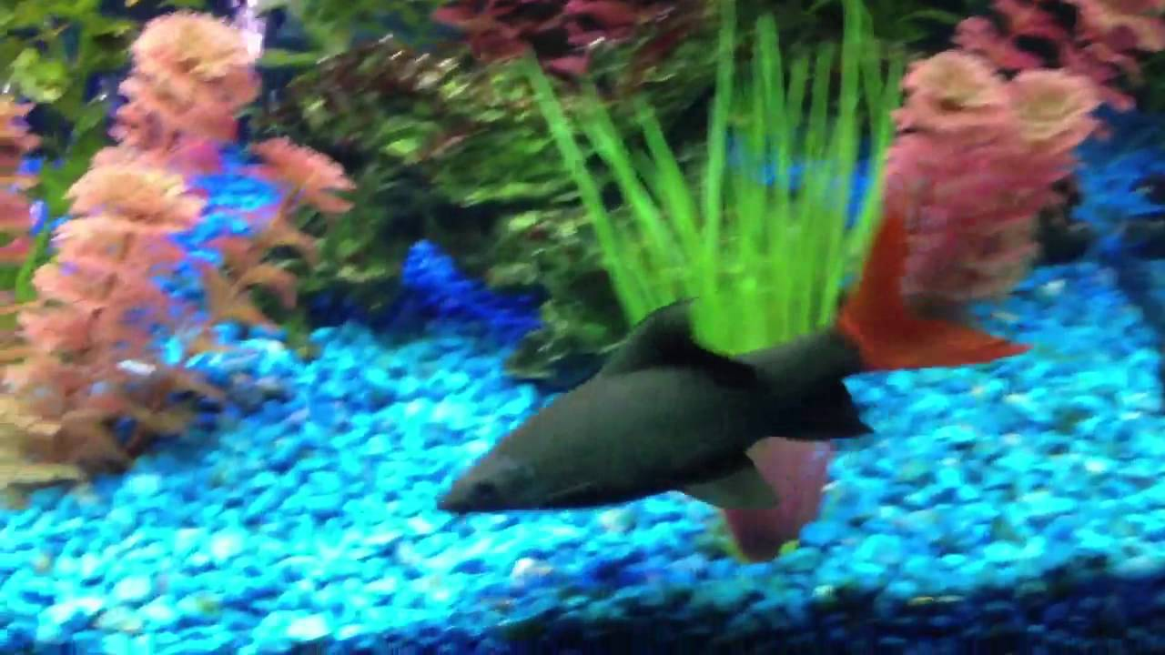 Freshwater aquarium fish rainbow shark - Freshwater Aquarium Fish Rainbow Shark
