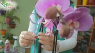 Как ухаживать за орхидеями(В этом видео мы расскажем как правильно ухаживать за орхидеями – в какие вазоны высаживаются орхидеи, како..., 2015-04-28T12:00:56.000Z)