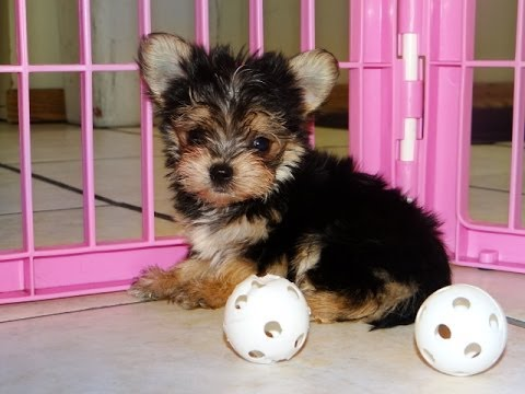 Morkie Puppies Dogs For Sale In Raleigh North Carolina Nc