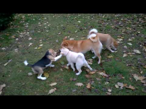 Shiba & beagle