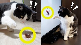 How to get rid of cockroaches? Call the cat!