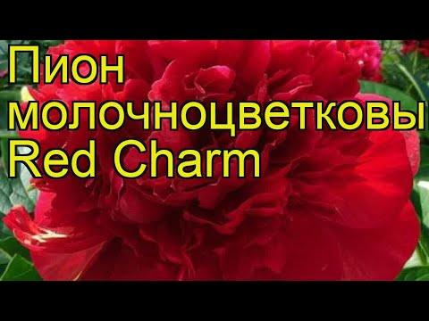 Пион молочноцветковый Red Charm. Краткий обзор, описание характеристик, где купить саженцы