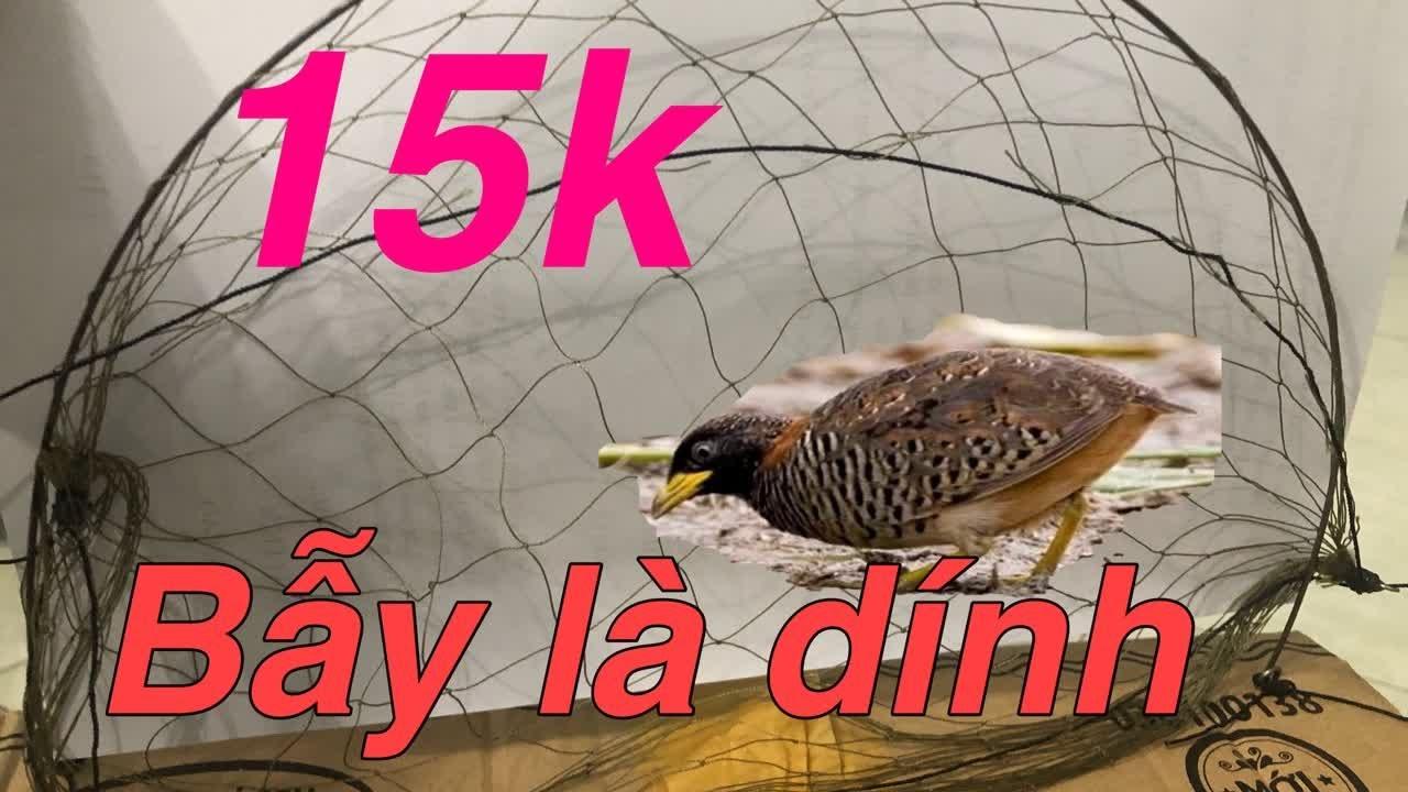 Cung bẫy cút,cách bẫy chim cút bằng cung đơn giản giá rẻ