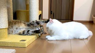 しましま猫ともふもふ猫の低燃費な戦い