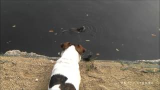 ヌートリア、犬をからかって遊ぶ