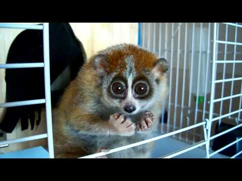 """Do you want to know more about Sonya? (slow loris - """"The Tickle Lover"""")"""
