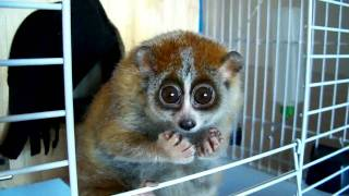 "Do you want to know more about Sonya? (slow loris - ""The Tickle Lover"")"