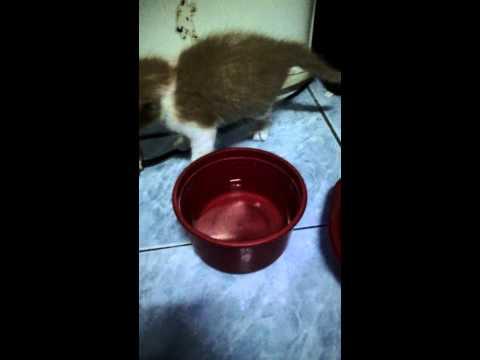 ลูกแมวหัดเล่นอายุ1เดือน