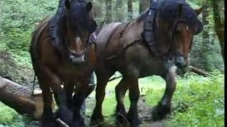 Strong Belgian Draft Horses-Horses Moving Logs