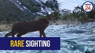 WATCH: Rare sighting of caracal on Lion's Head, Cape Town