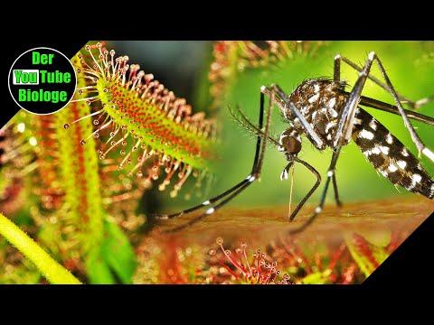 Tigermücken Attacke bei der Gartenarbeit und Sonnentau Samen