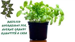Basilico acquistato al supermercato (Lidl) operazioni da effettuare per una buona crescita. Tutorial