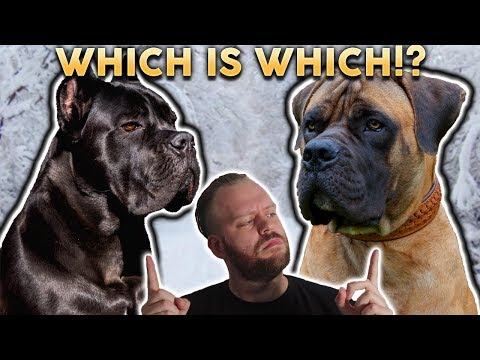 CANE CORSO OR BOERBOEL! Whats The Difference?