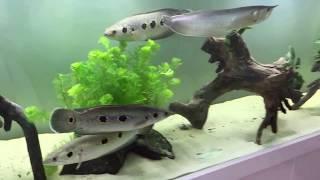 Monster fish tank feeding 400 gallon Startup: Arowana, Channa Pleuropthalma (aquarium part 1)