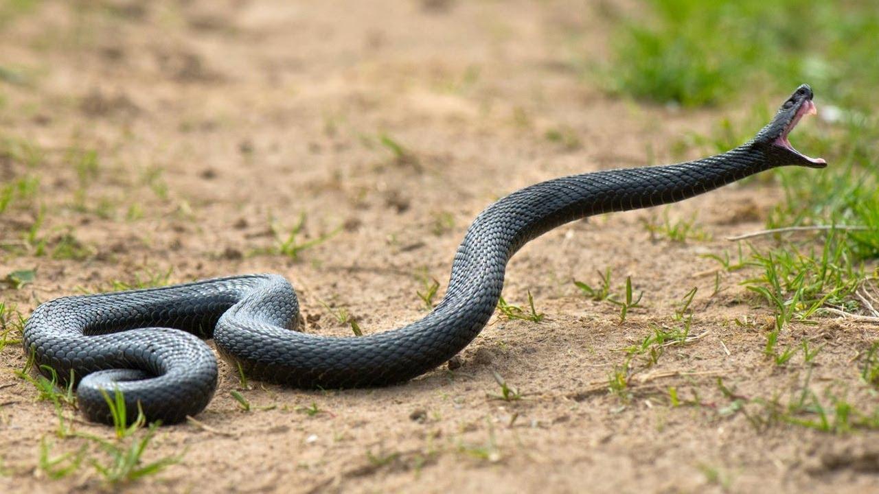 Самые опасные и ядовитые змеи России! Лучше обходите их стороной!
