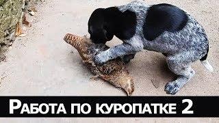 Идеальная натаска 8-месячного дратхаара - Работа по куропаткам