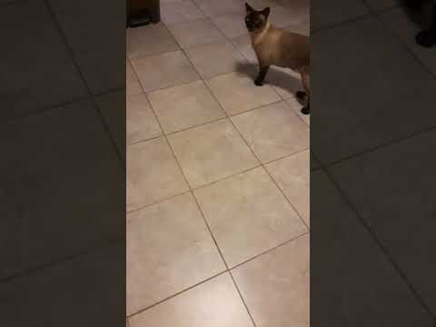 Siamese cat talking & Tonkinese cat / Ragdoll cat talking & asking for food